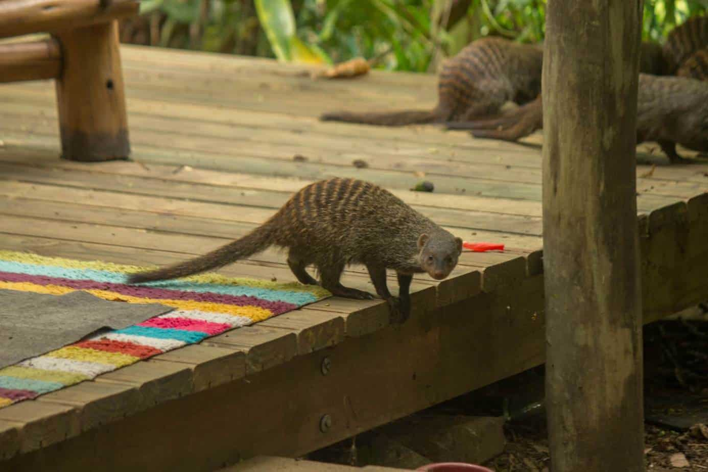 Banded Mongoose2