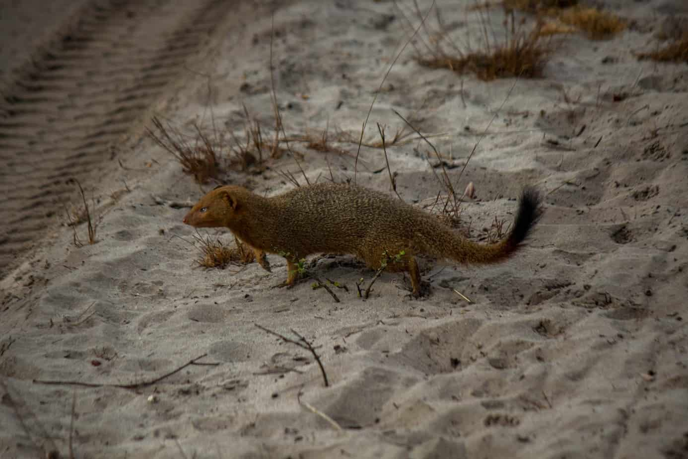 Slender Mongoose2