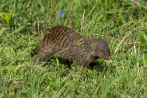 Banded Mongoose @ Eastern Shores - iSimangaliso Wetland Park. Photo: Håvard Rosenlund