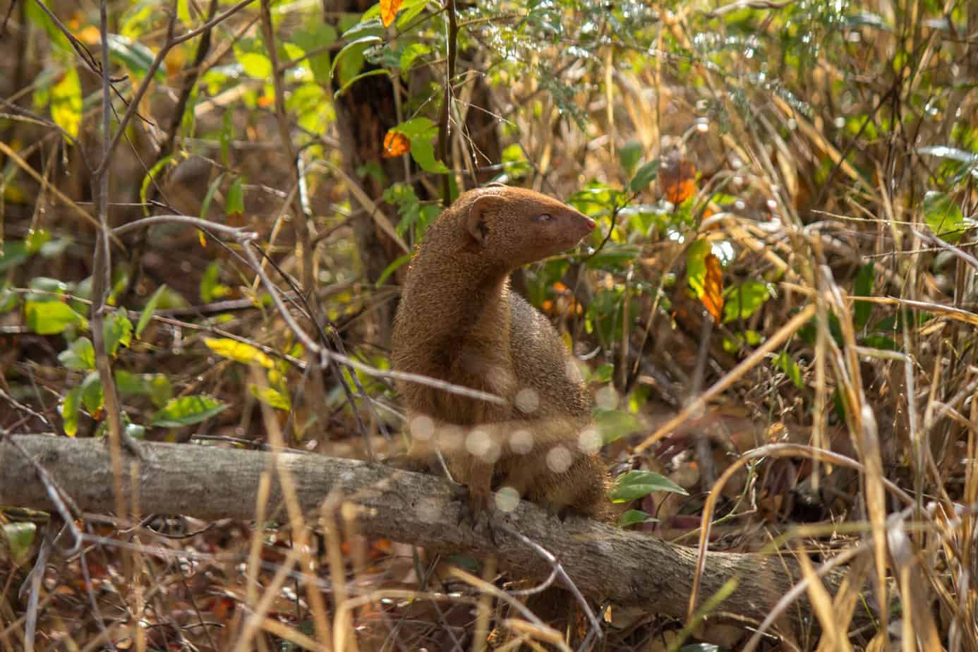 Slender Mongoose1