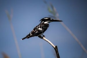 Pied Kingfisher @ Kosi Bay. Photo: Håvard Rosenlund