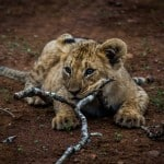 Lion Cub @ Thanda Game Reserve. Photo: Håvard Rosenlund