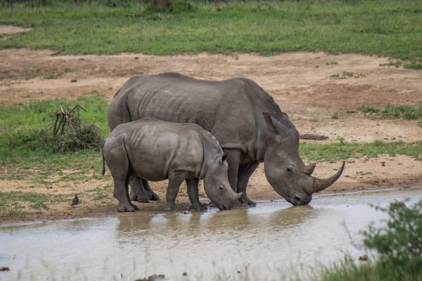 White Rhinoceros1