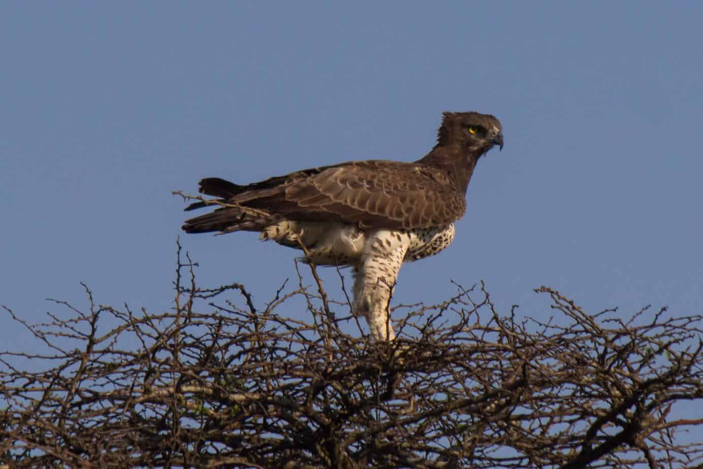 Martial Eagle - Wildlife Vagabond