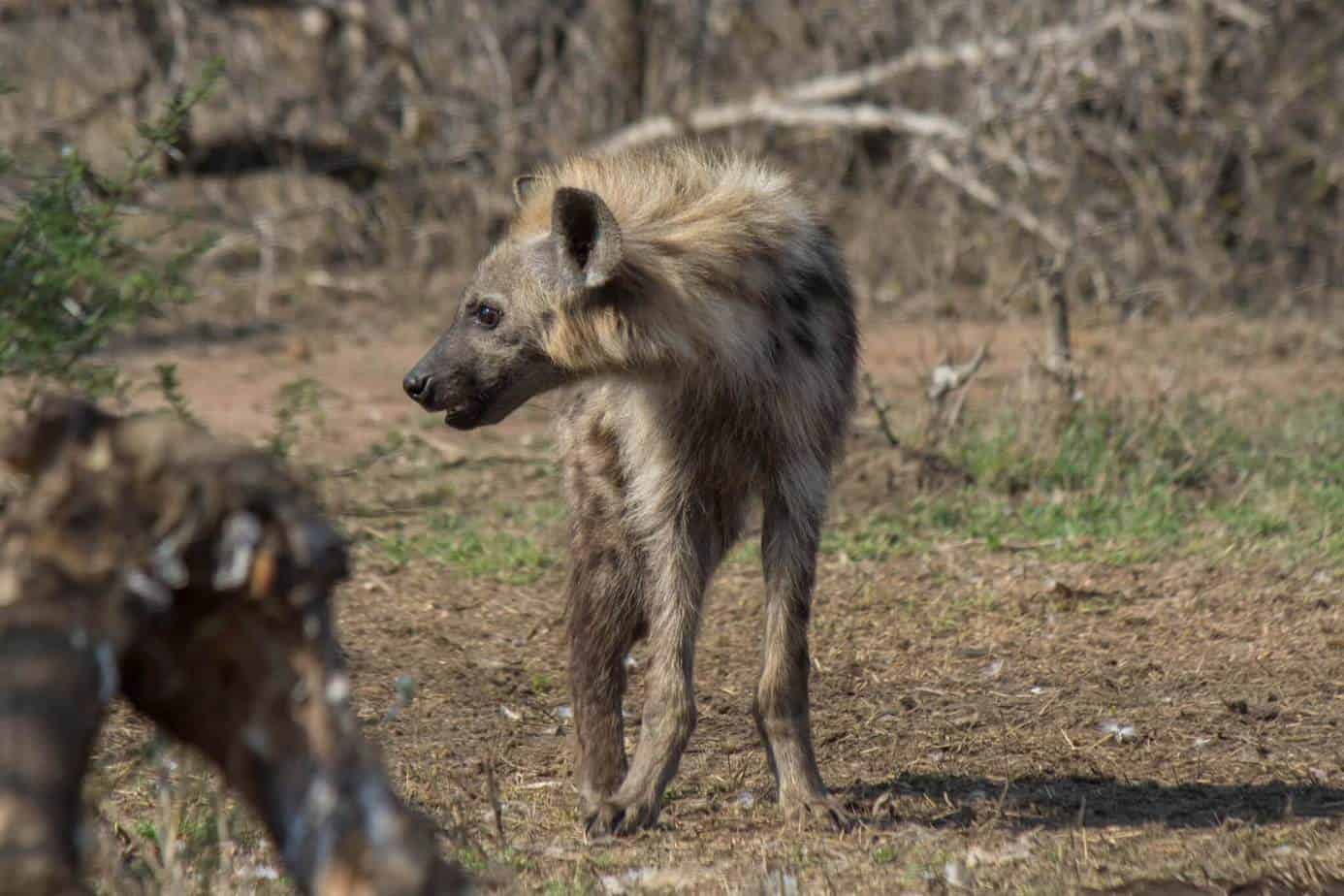 Spotted Hyena4