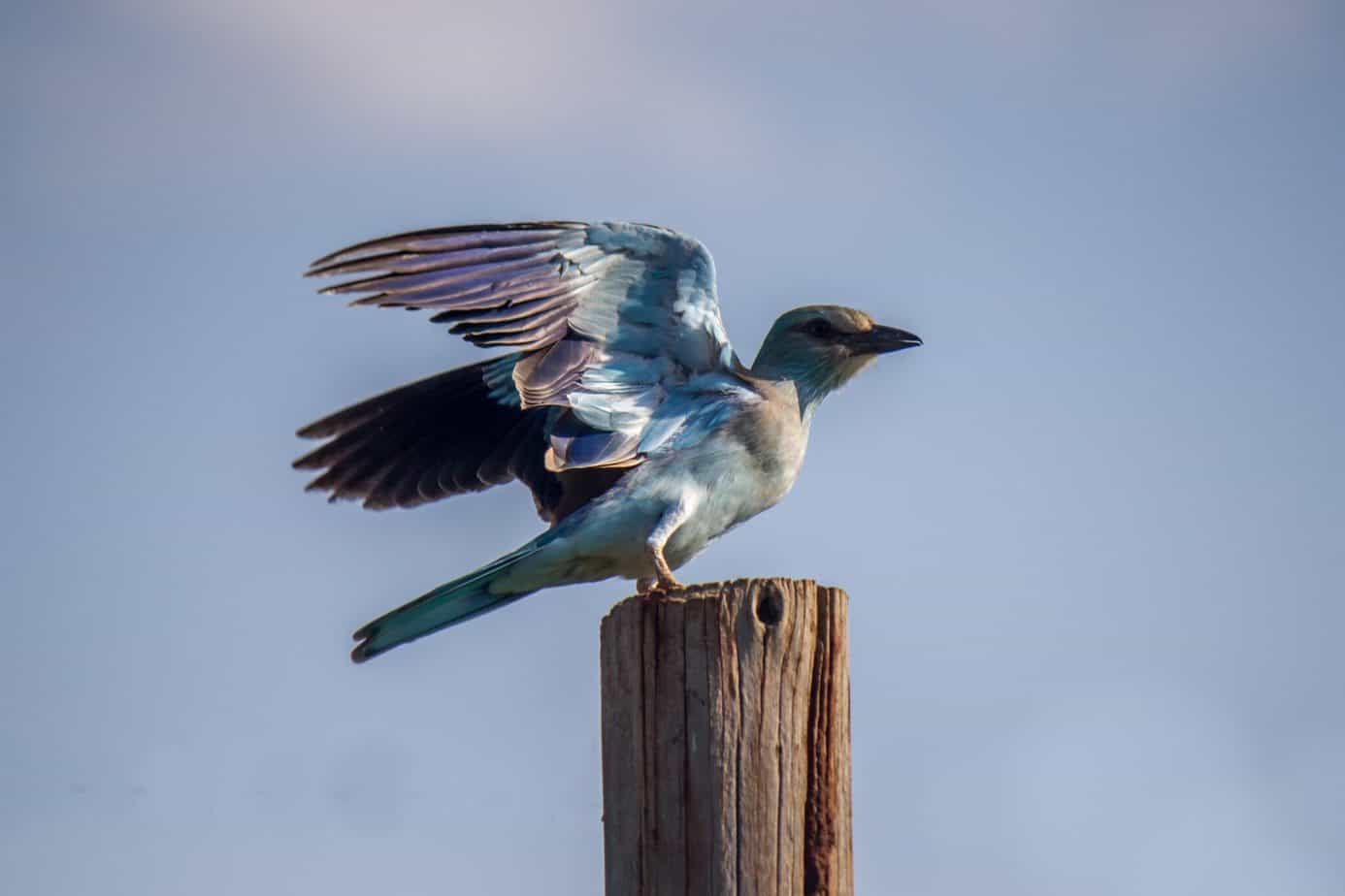 European Roller @ Ndumo Game Reserve. Photo: Håvard Rosenlund