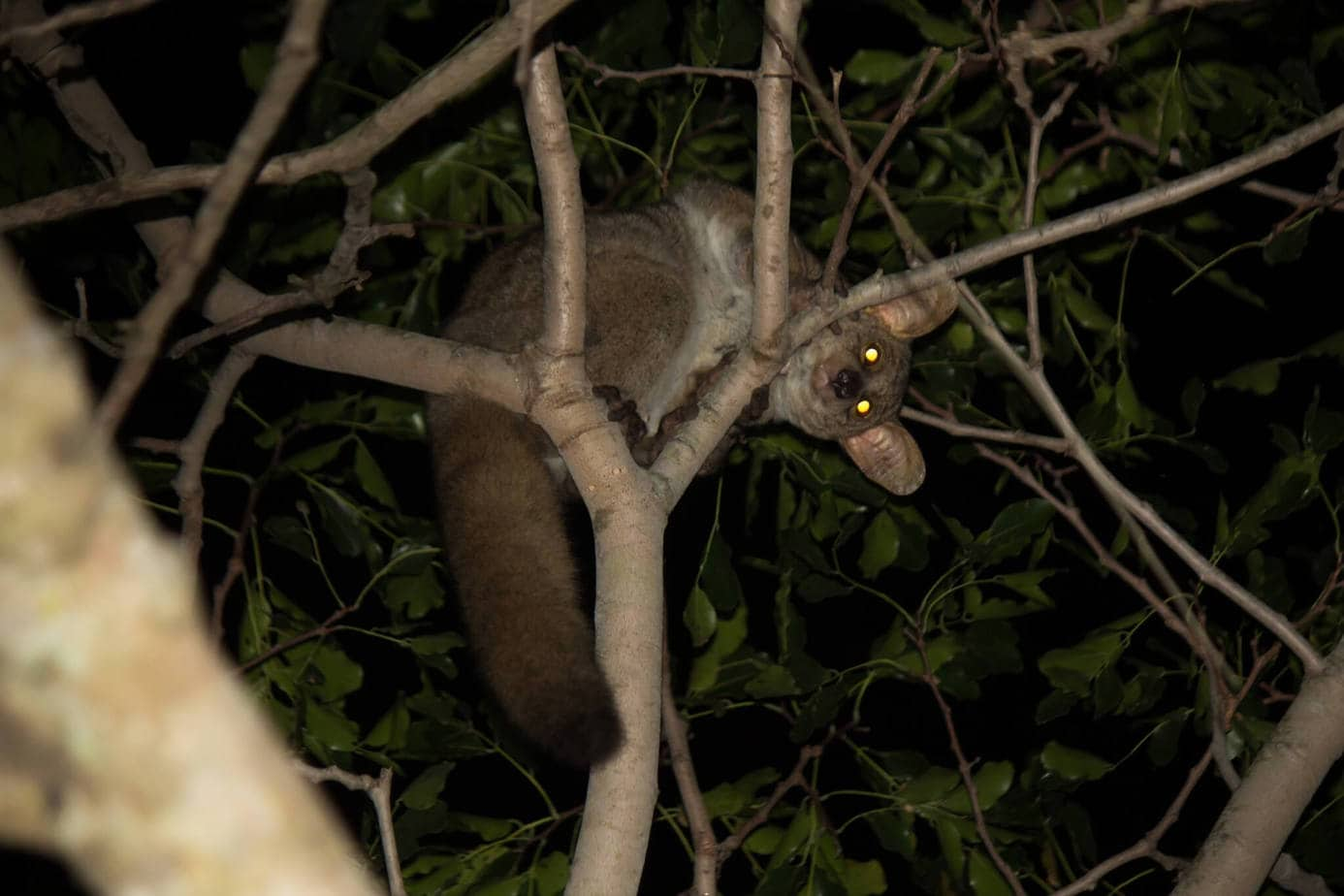 Thick-Tailed Greater Galago @ Tembe Elephant Park. Photo: Håvard Rosenlund