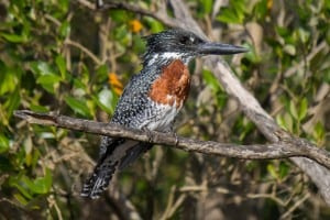 Giant Kingfisher - Male @ St Lucia Estuary. Photo: Håvard Rosenlund
