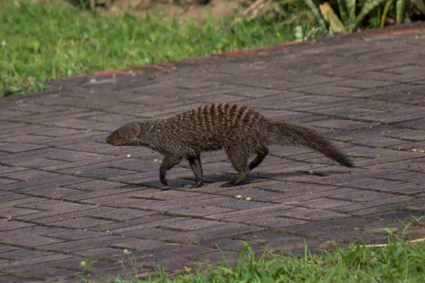Banded Mongoose4