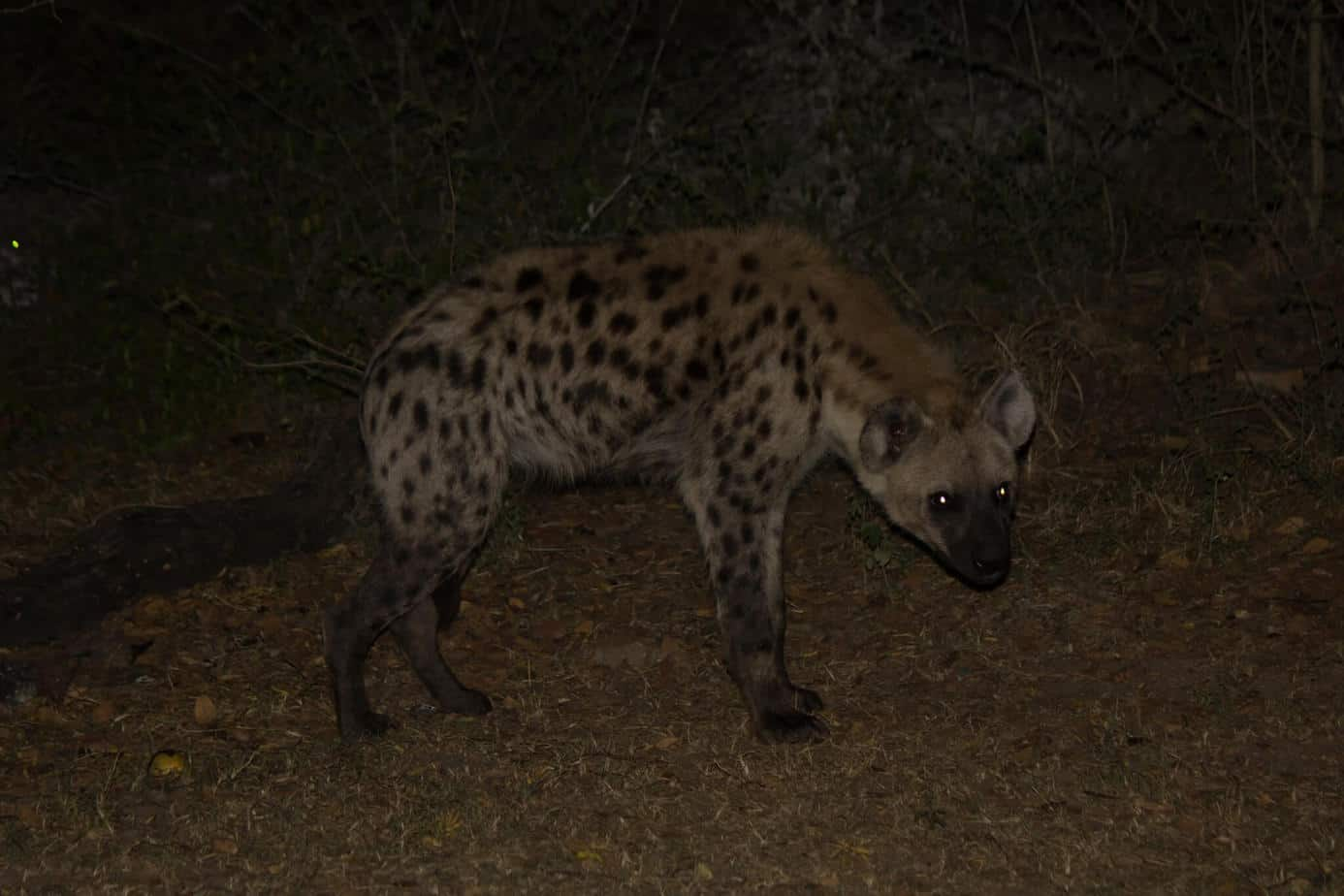 Spotted Hyena7