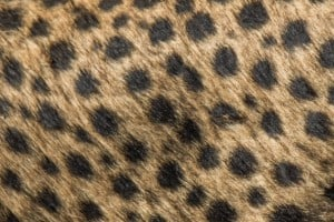 Cheetah Pattern. Photo: Håvard Rosenlund