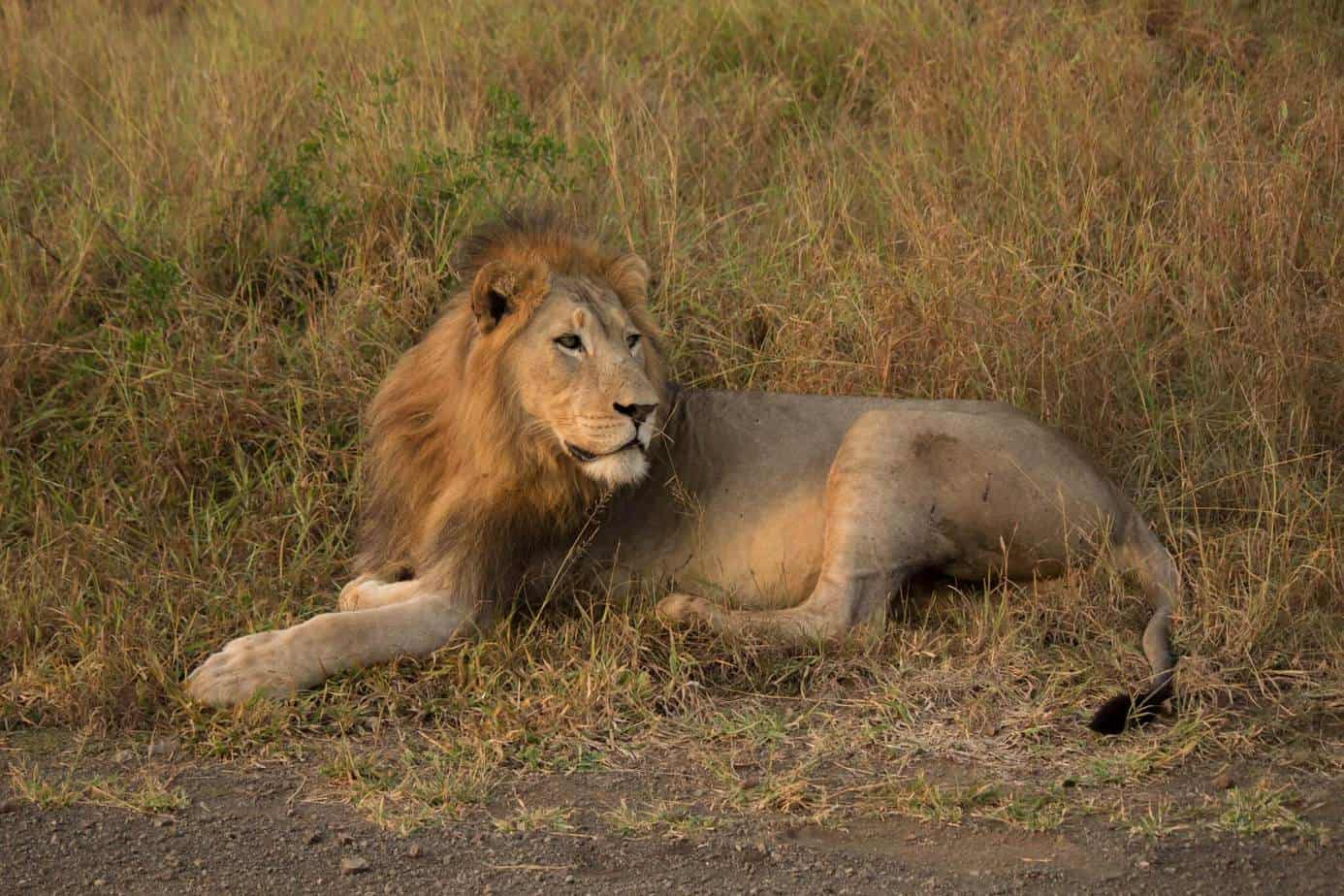African Lion @ Thanda Private Game Reserve. Photo: Håvard Rosenlund