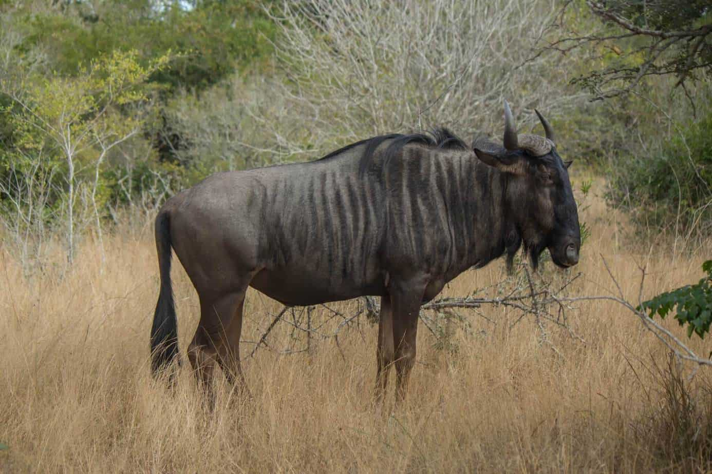 Blue Wildebeest @ Tembe Elephant Park. Photo: Håvard Rosenlund