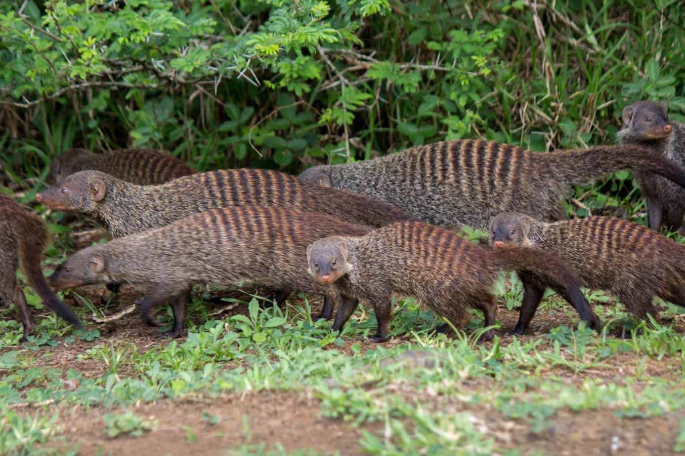 Banded Mongoose3