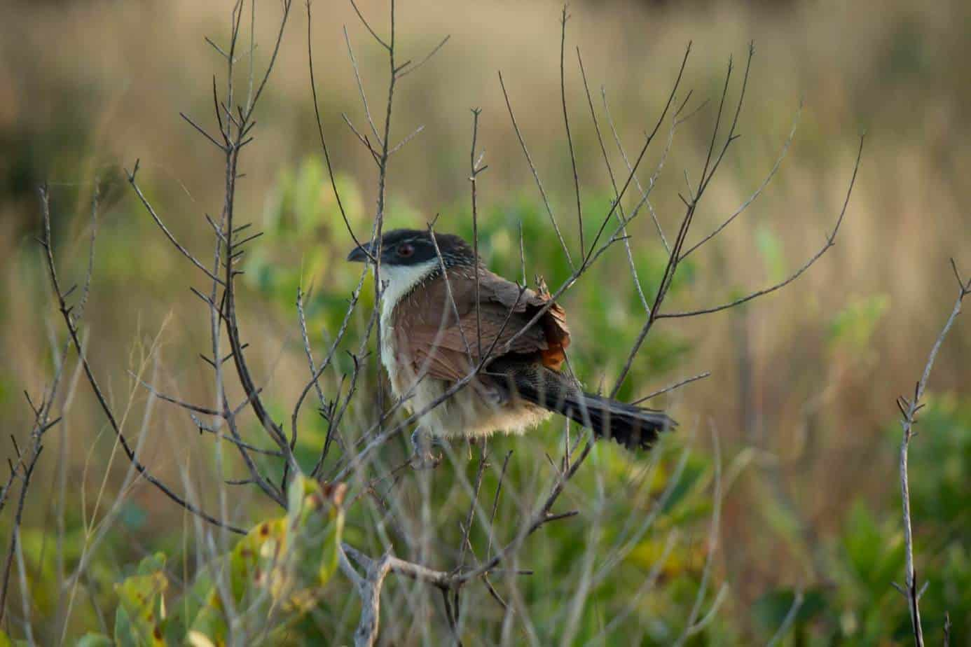 Buchell's Coucal1