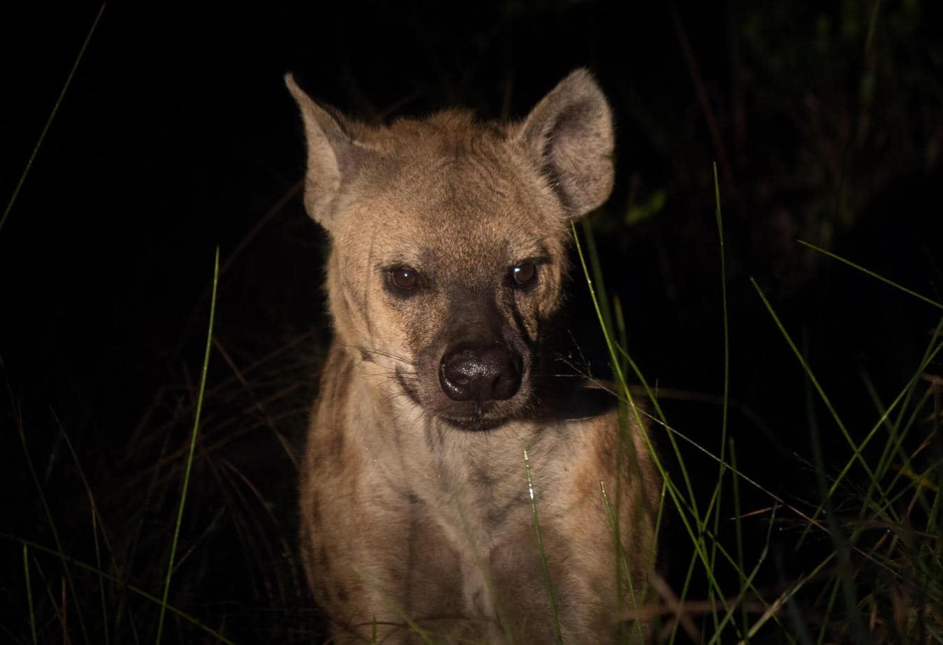 Spotted Hyena5