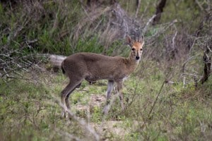 Common Duiker @ Tembe Elephant Park. Photo: Håvard Rosenlund