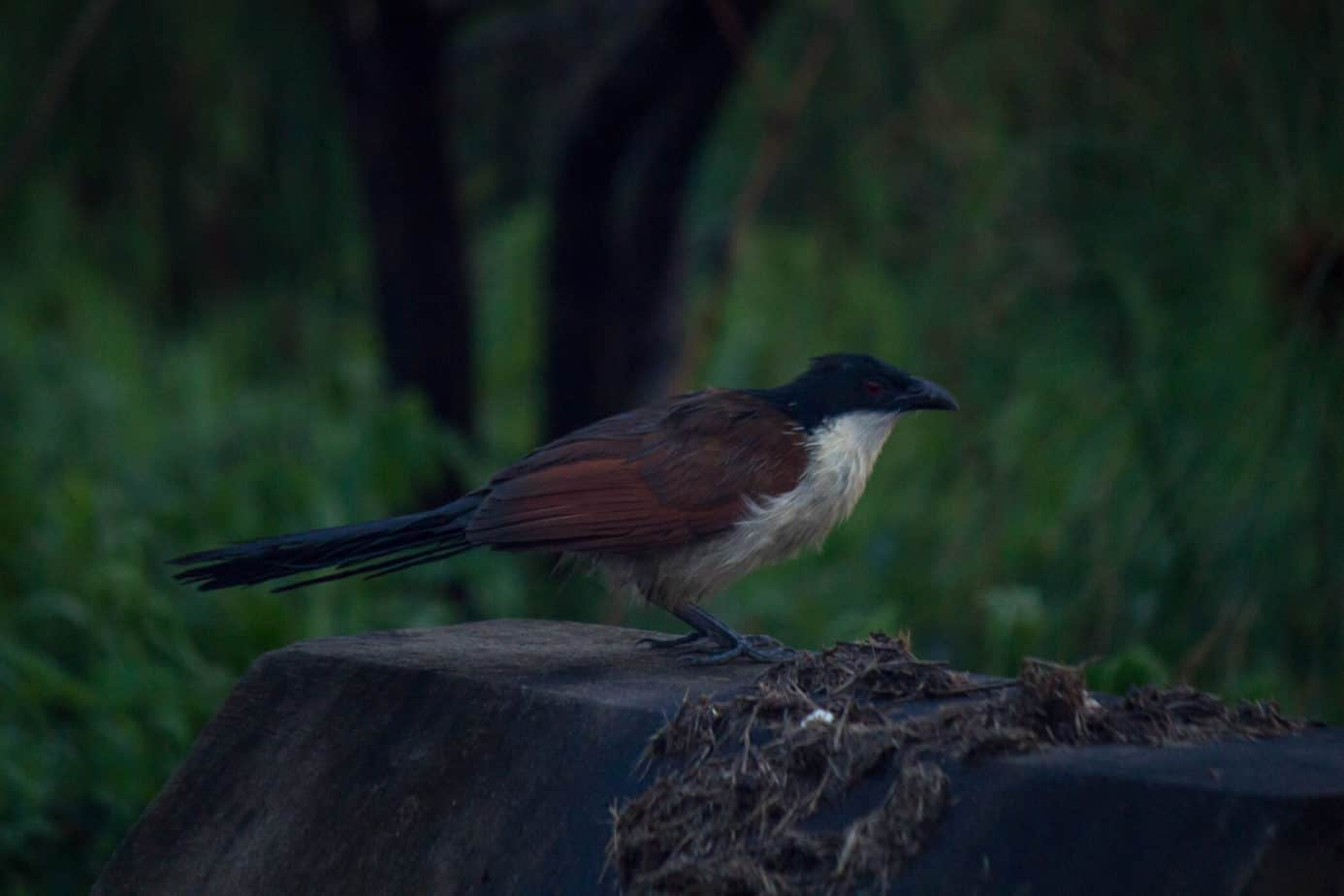 Buchell's Coucal2
