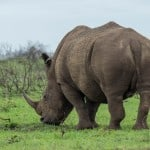 White Rhinoceros @ Munyawana Game Reserve. Photo: Håvard Rosenlund