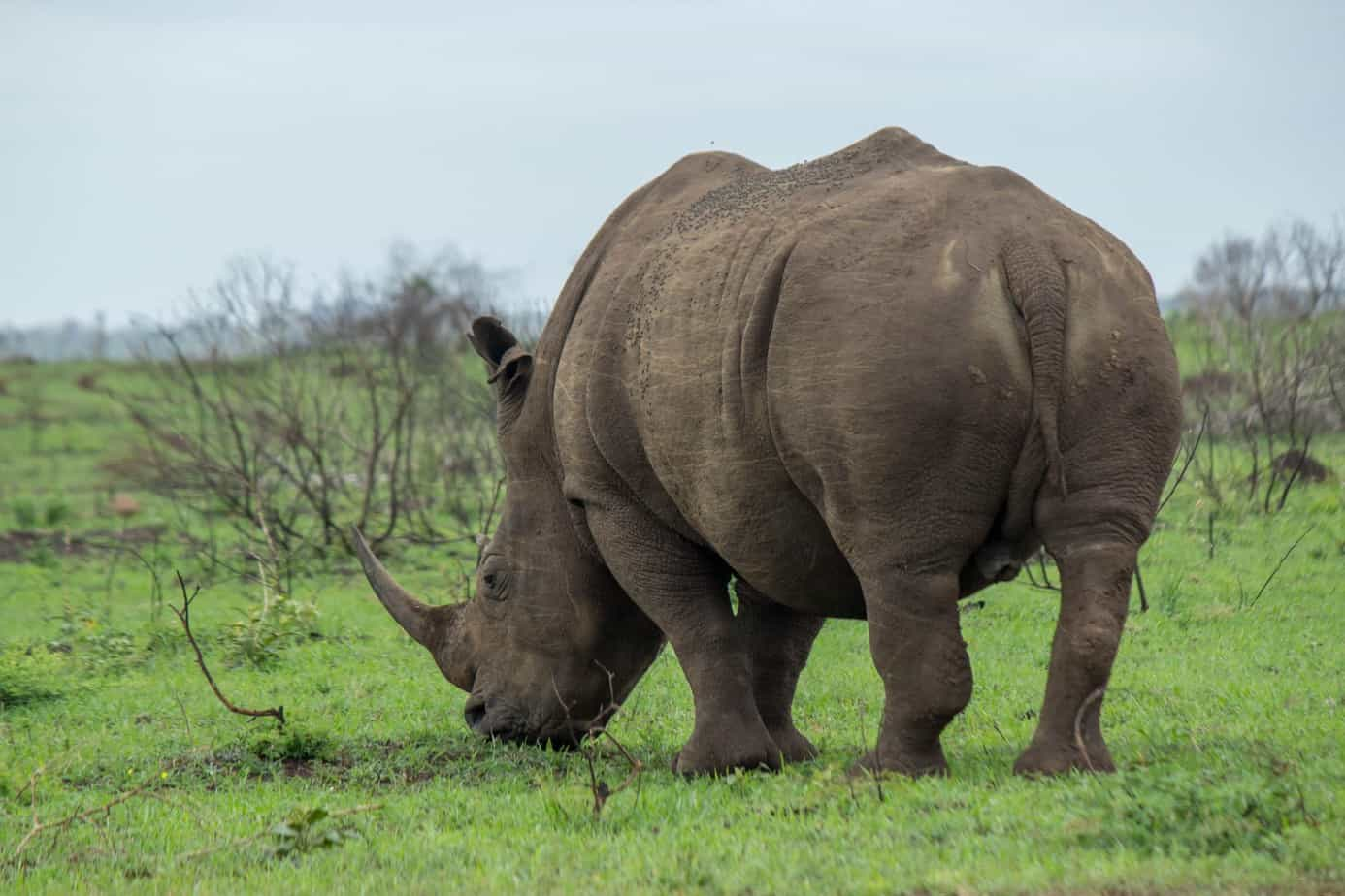 White Rhinoceros3