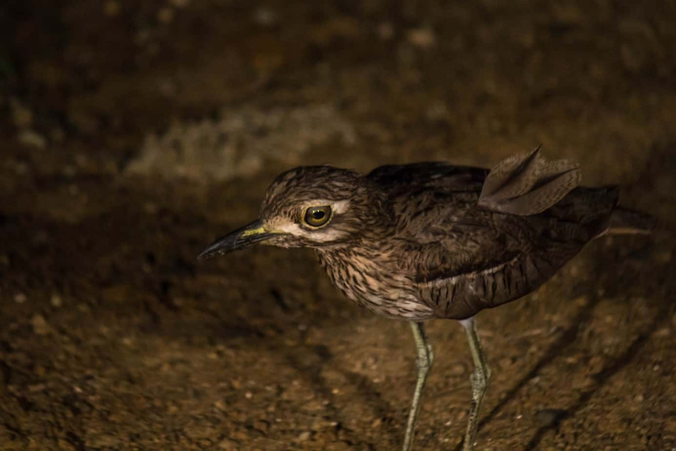 Water Thick-Knee3