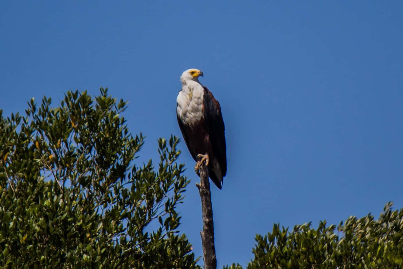 African Fish Eagle1