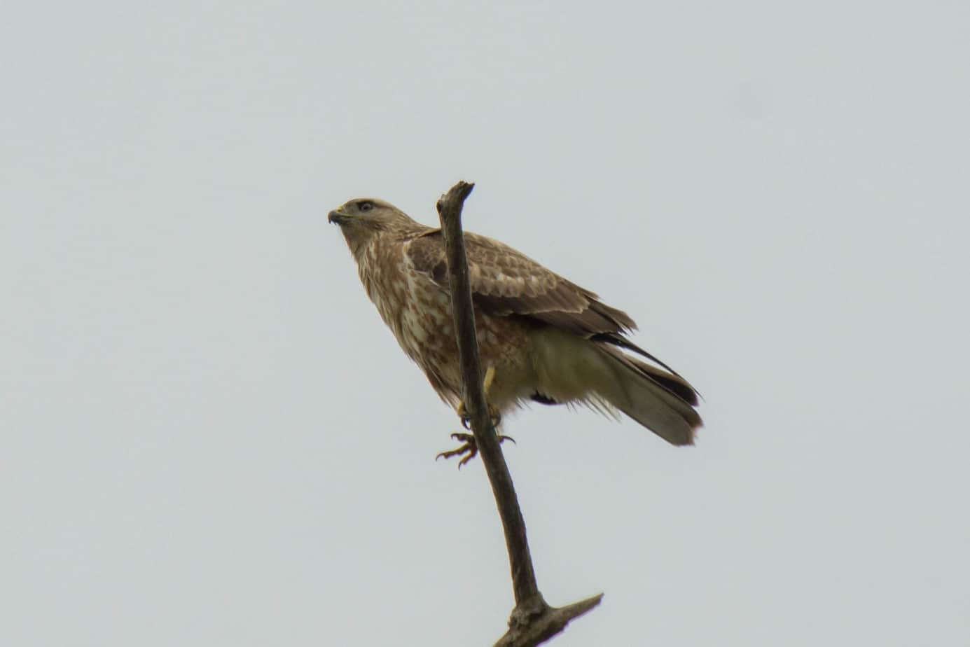 Steppe Buzzard1
