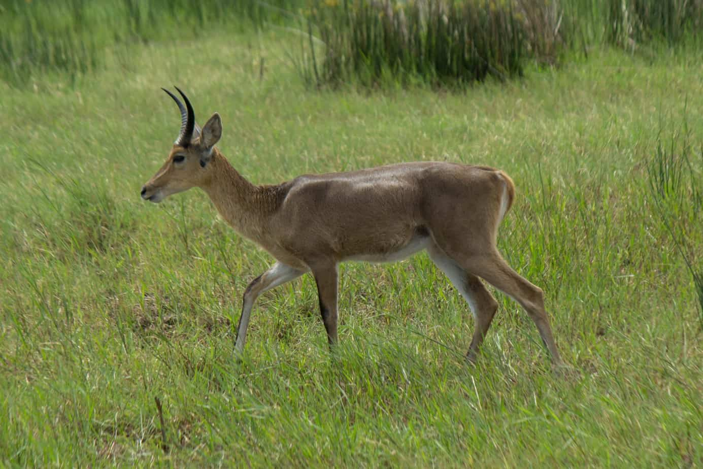 Southern Reedbuck4