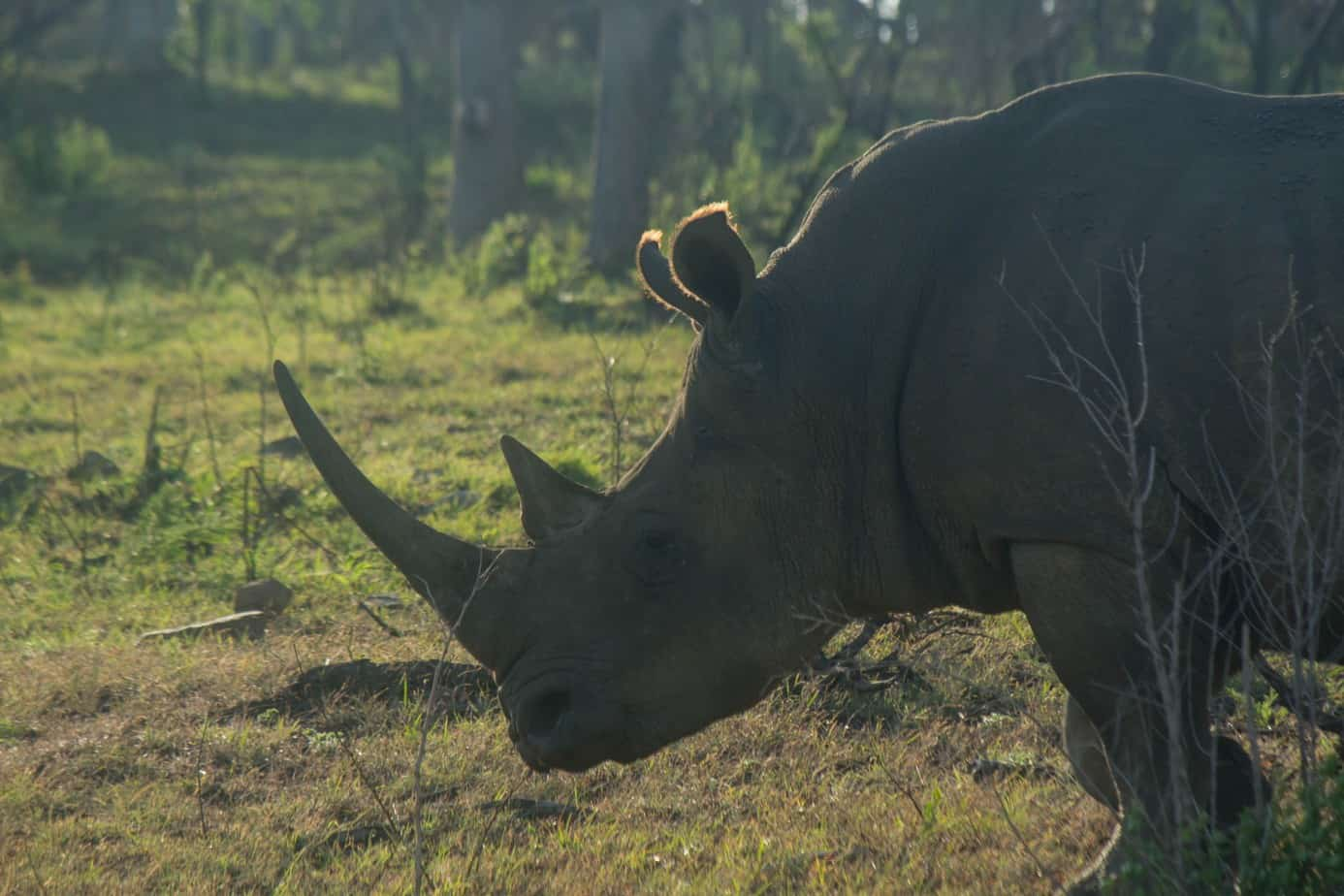 White Rhinoceros7