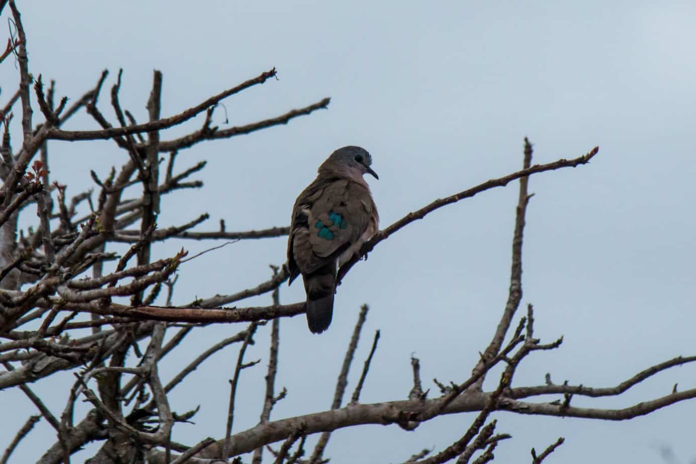 Emerald-Spotted Wood Dove3