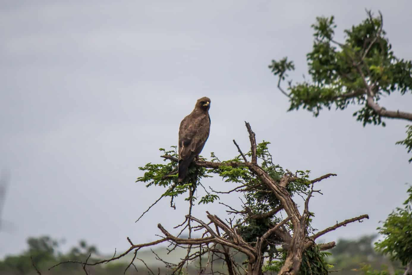 Wahlberg's Eagle3