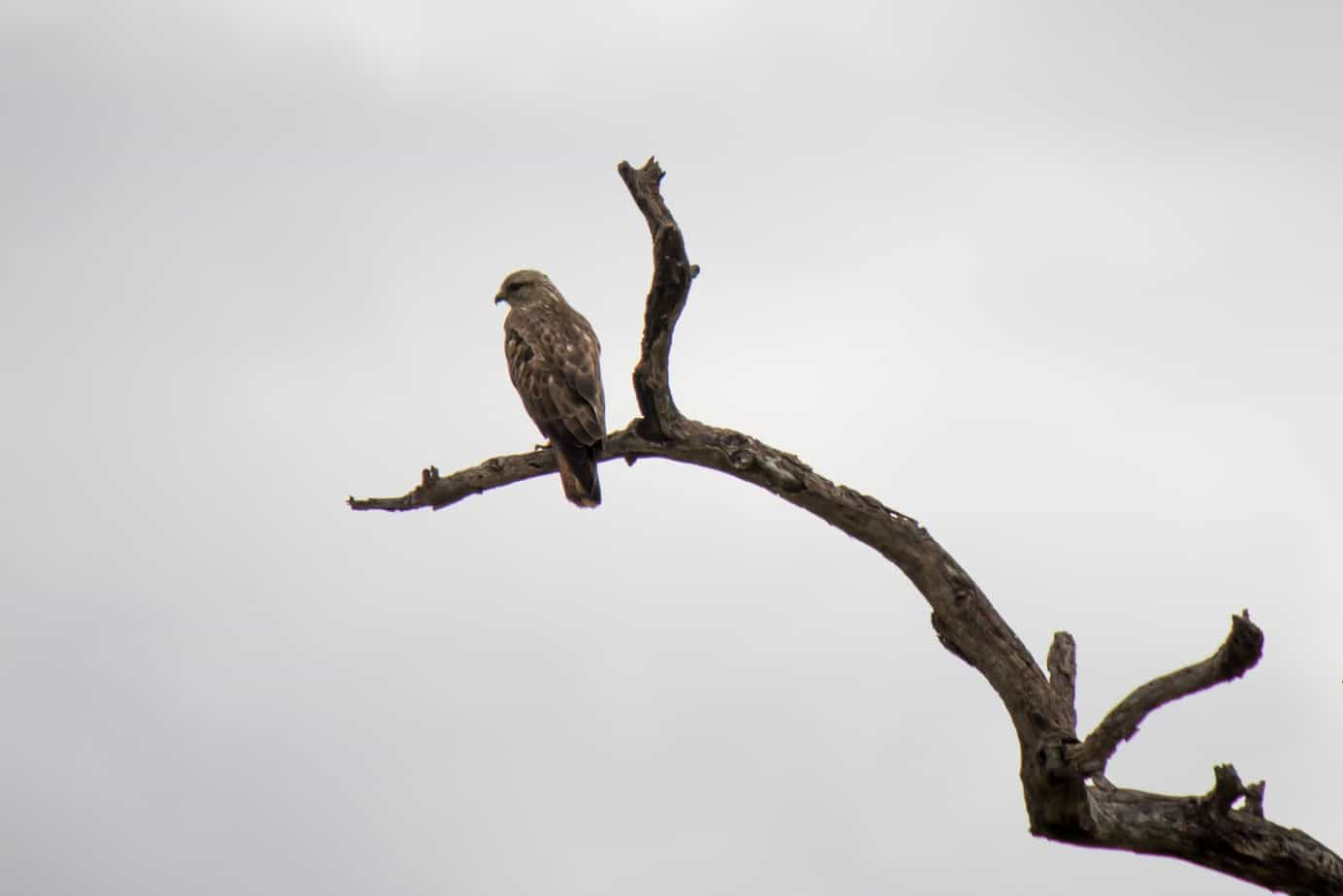Steppe Buzzard3