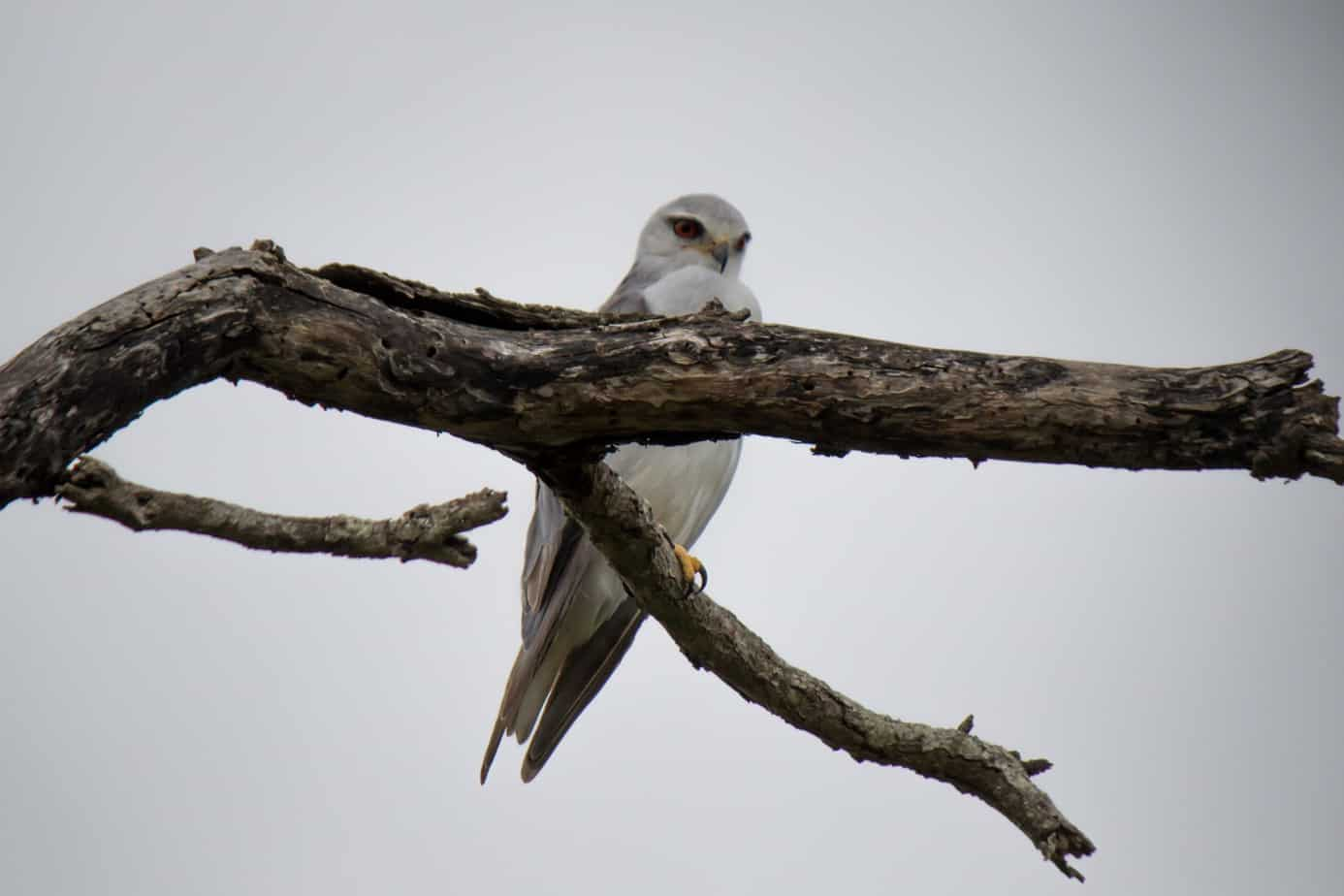Black-Winged Kite2