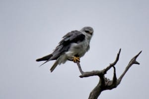 Black-Winged Kite @ Tembe Elephant Park. Photo: Håvard Rosenlund