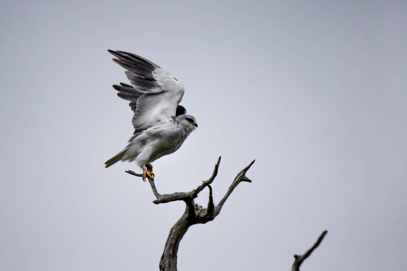 Black-Winged Kite1