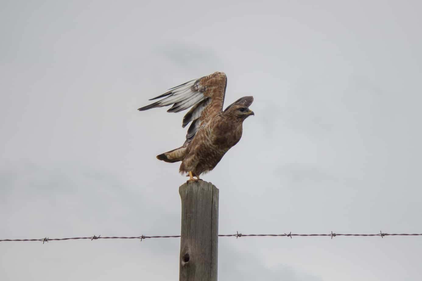 Steppe Buzzard4