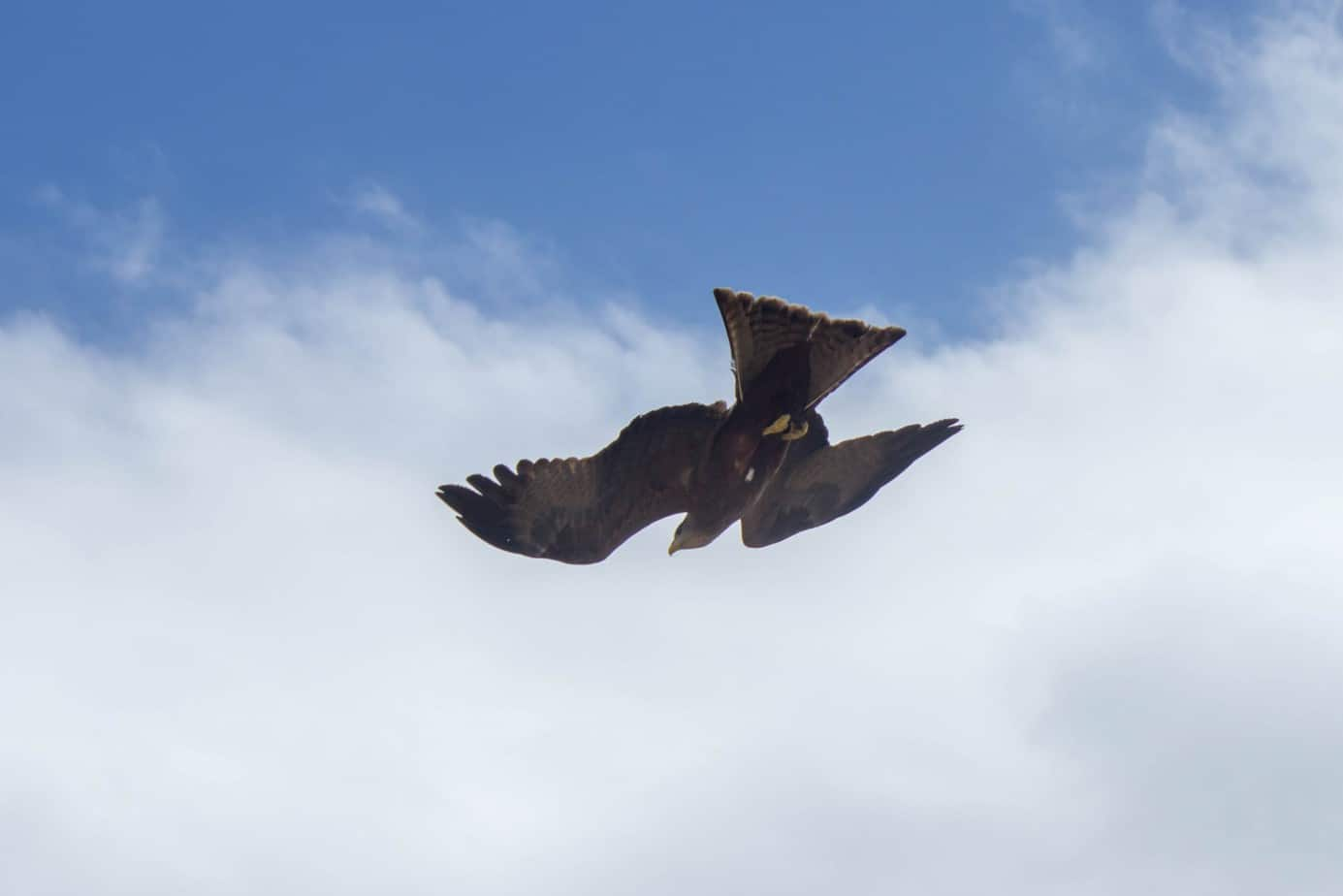 Yellow-Billed Kite6