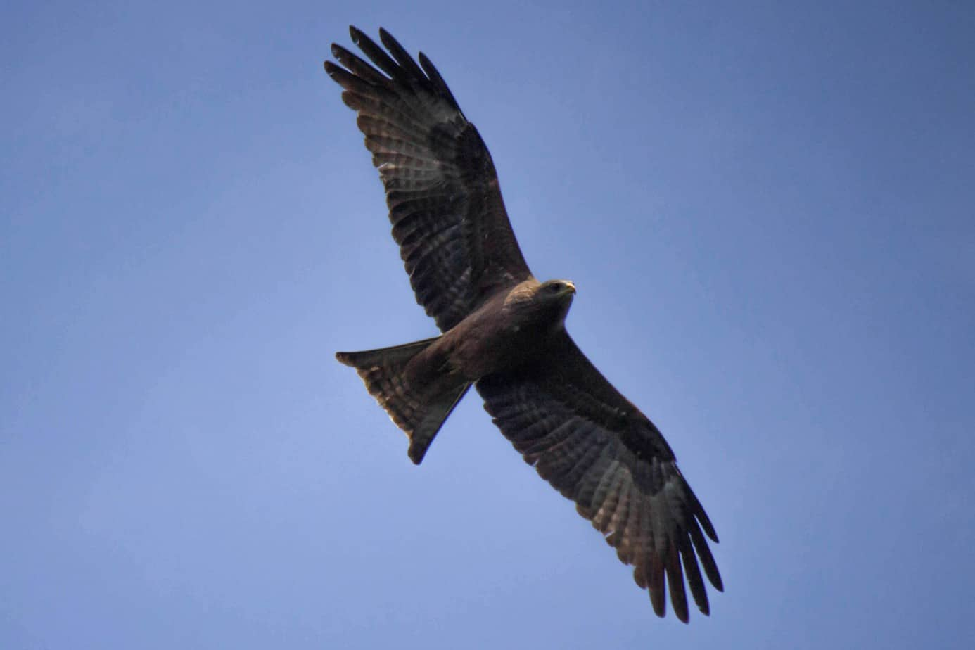 Yellow-Billed Kite1