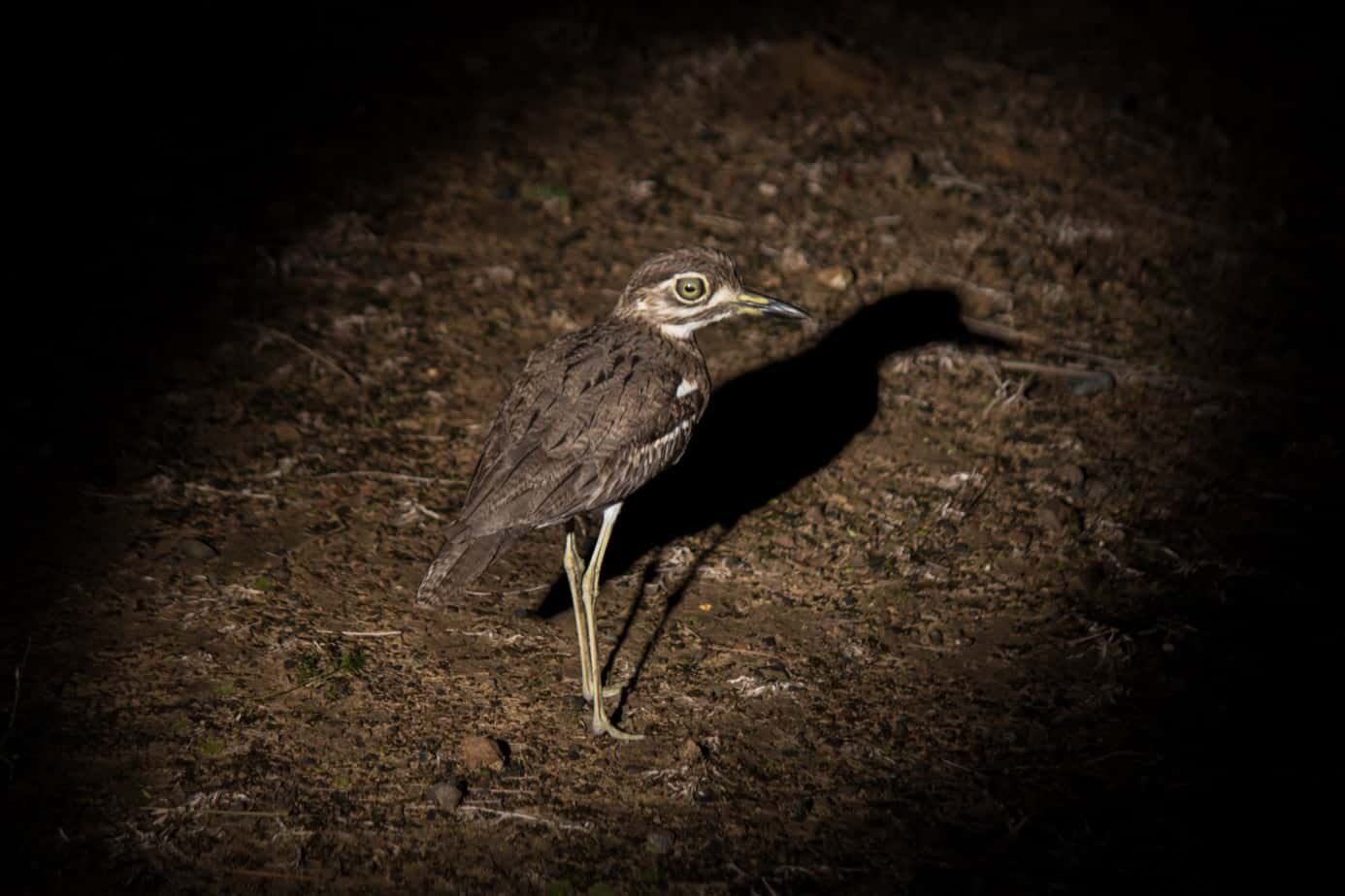 Water Thick-Knee1