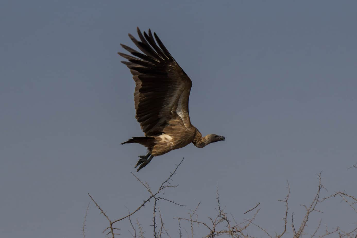 White-Backed Vulture1