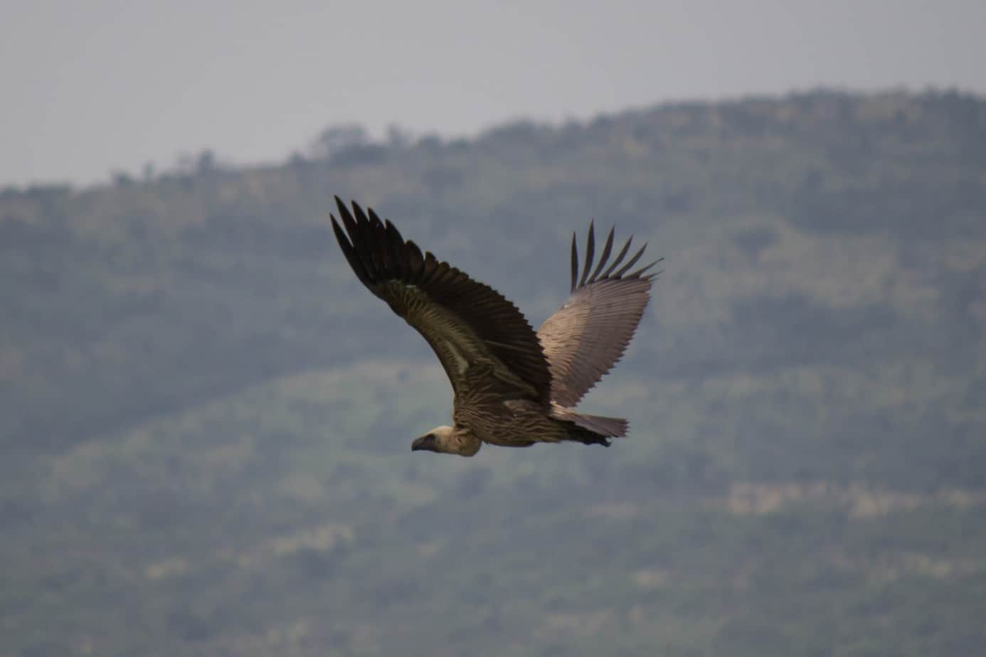 White-Backed Vulture4