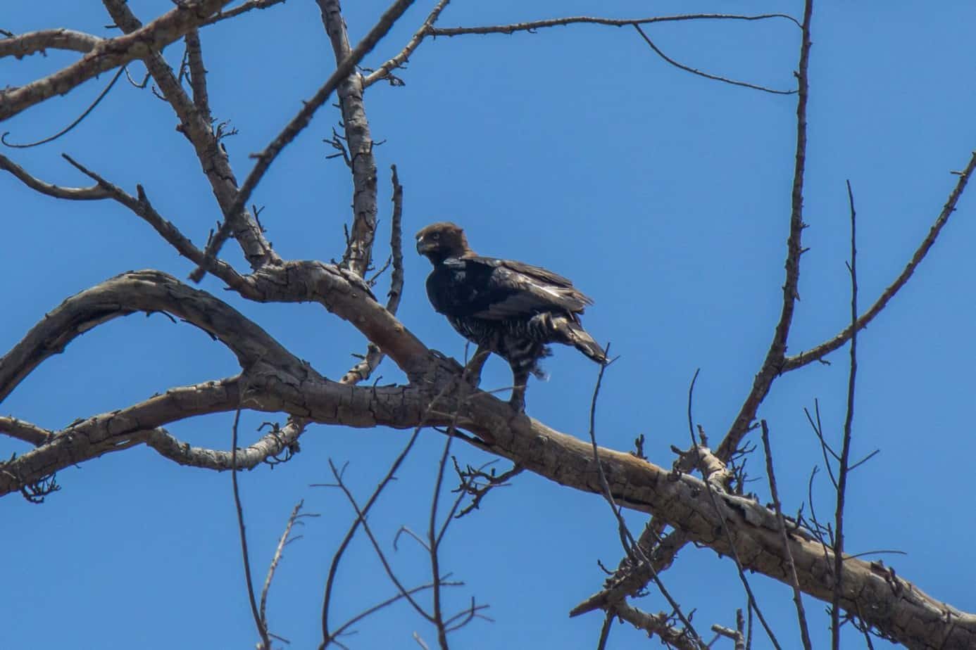 Crowned Eagle2