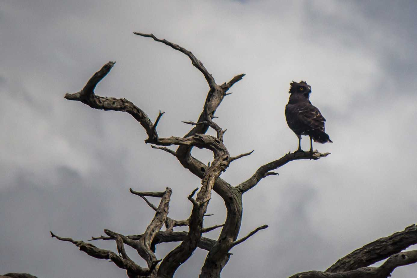 Black-Chested Snake Eagle2