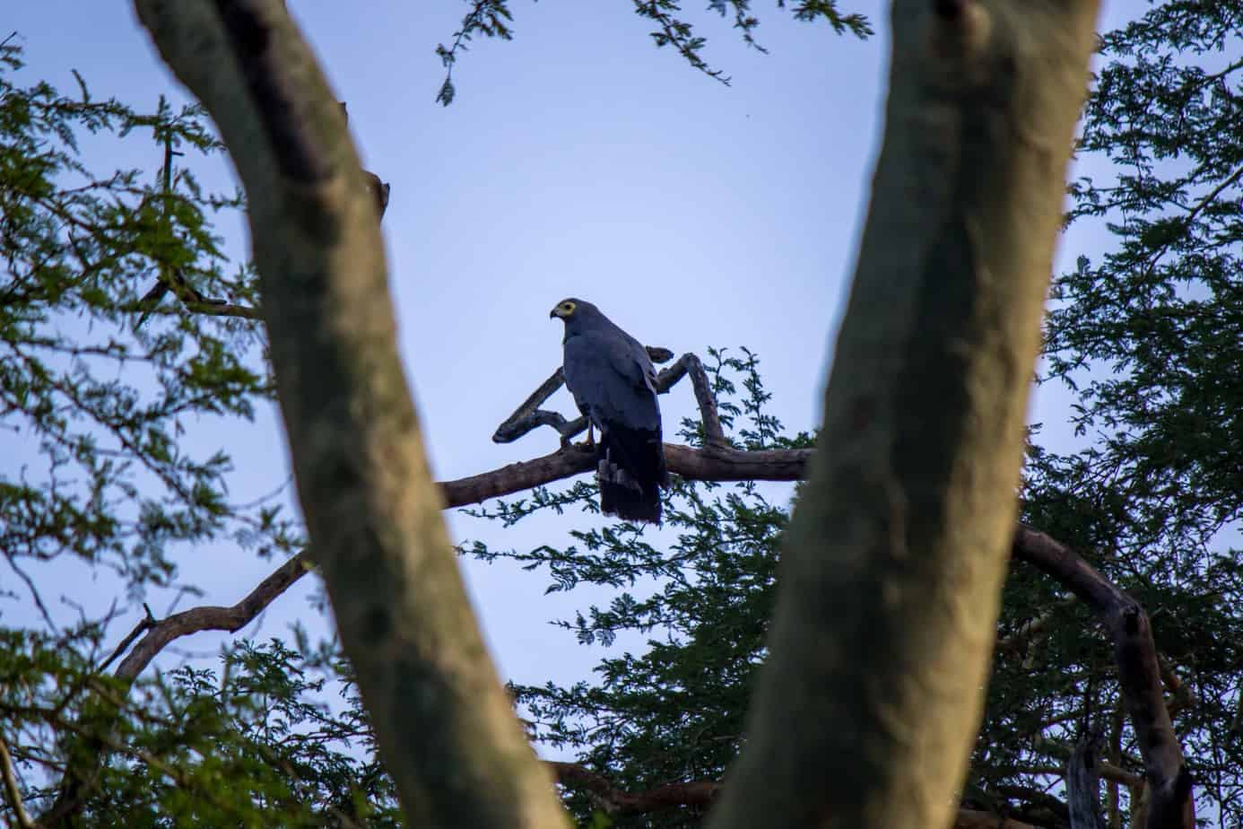 African Harrier-Hawk5