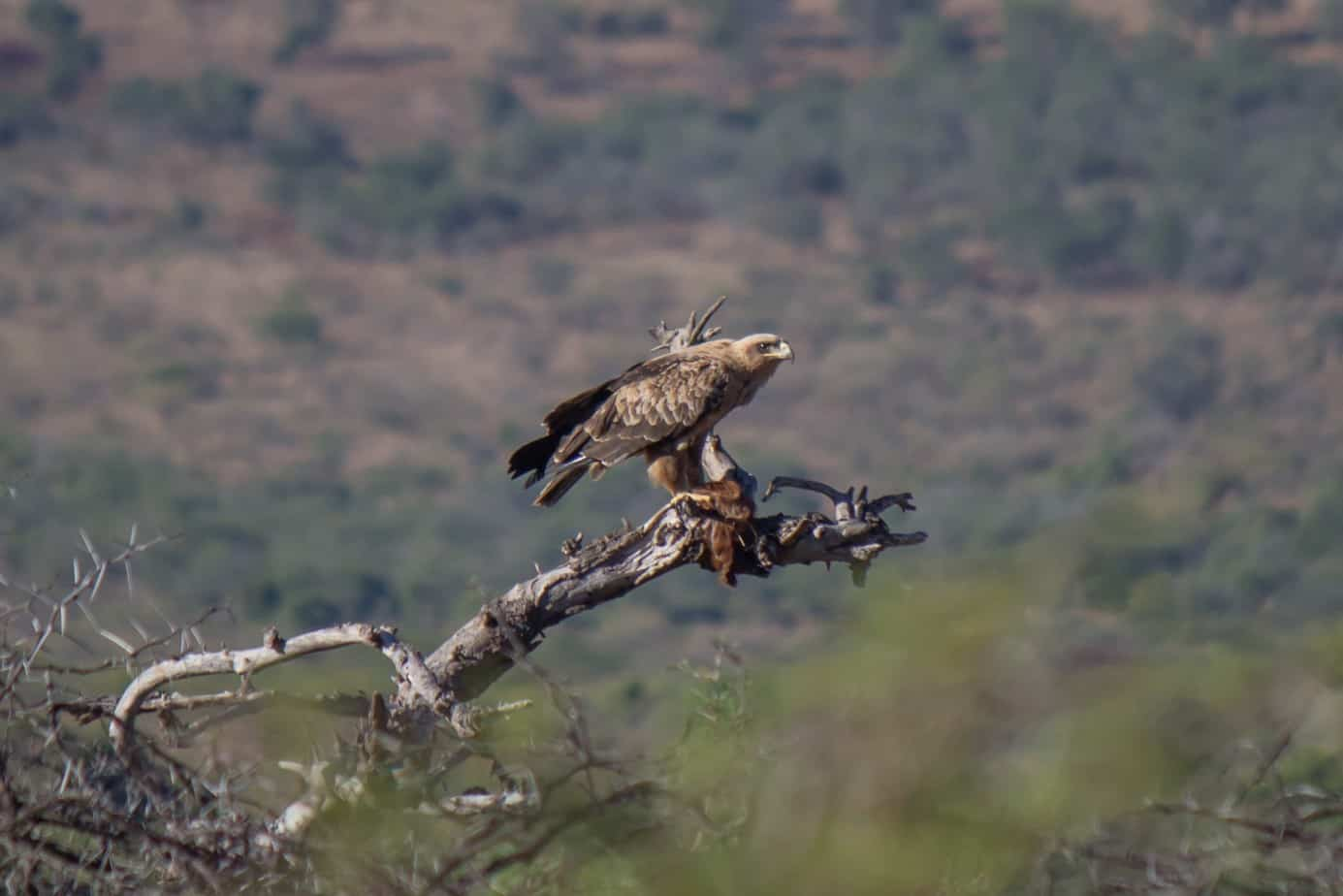 Wahlberg's Eagle1