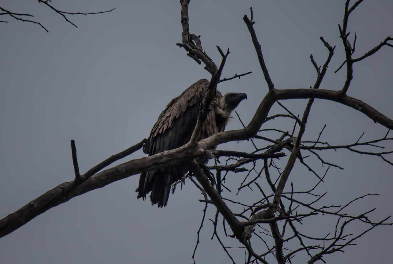 White-Backed Vulture7