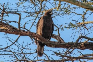 Wahlberg's Eagle @ Thanda Private Game Reserve. Photo: Håvard Rosenlund