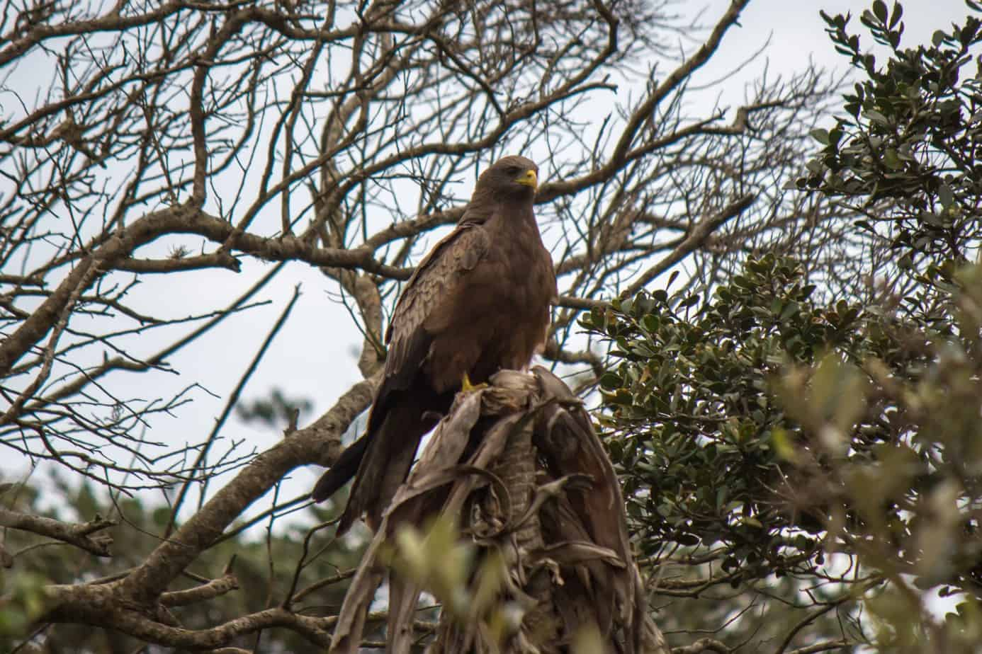 Yellow-Billed Kite2