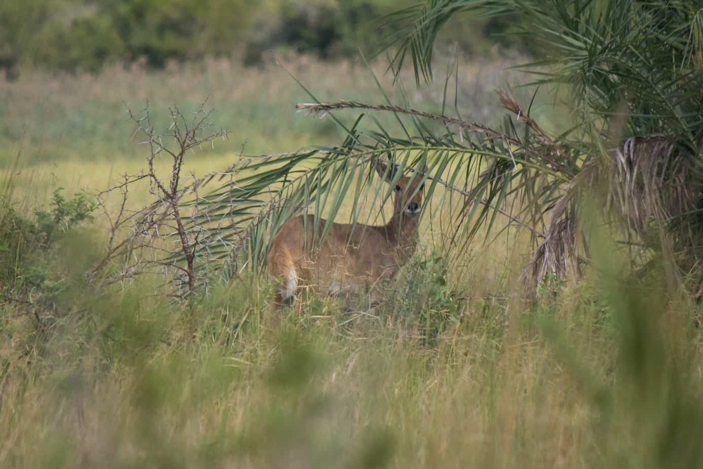 Southern Reedbuck7