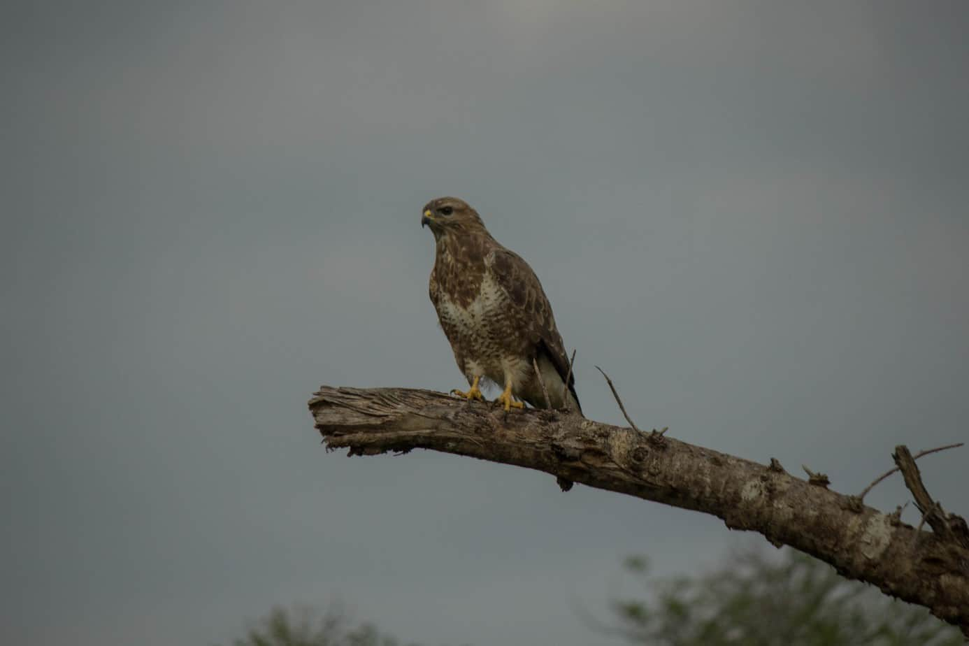 Steppe Buzzard5